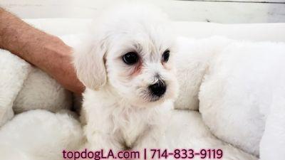 Poodle (Standard)-Maltese Mix PUPPY FOR SALE ADN-71429 - Maltipoo Male Tim
