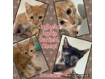 Adopt Garfield a Orange or Red (Mostly) Domestic Shorthair (short coat) cat in