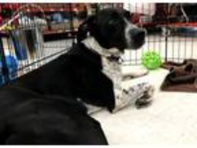 Adopt Spot a Border Collie, Labrador Retriever