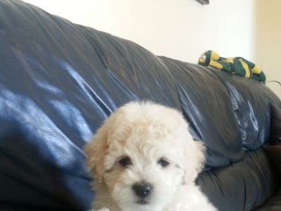 Cute Shih-Poo Puppies