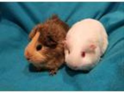 Adopt Sugar and Spice a Brown or Chocolate Guinea Pig (short coat) small animal