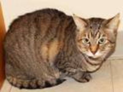 Adopt ADELE a Domestic Short Hair