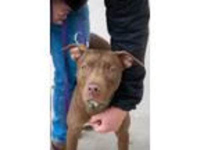 Adopt William a Pit Bull Terrier