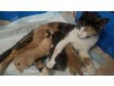 Adopt Zoey a Calico or Dilute Calico Domestic Shorthair / Mixed (short coat) cat