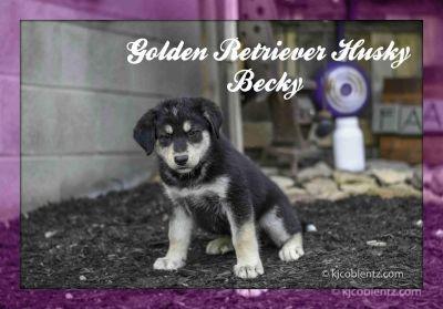 Becky: Female Golden Retriever Husky Mix