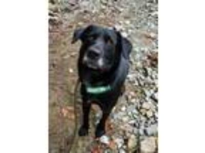 Adopt Comet a Black - with White Labrador Retriever / Mixed dog in Seattle