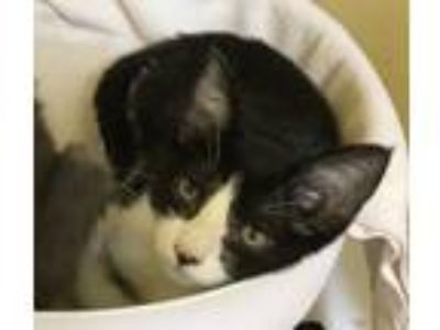 Adopt KASSIE a Domestic Short Hair