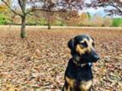 Adopt Allie Wooten a Black - with Tan, Yellow or Fawn German Shepherd Dog /