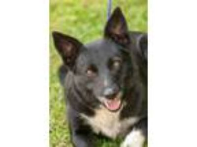 Adopt Tosie a Border Collie, Shepherd