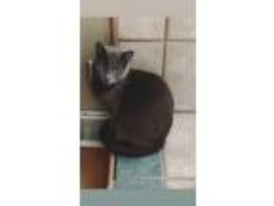 Adopt Cash a Gray or Blue Russian Blue cat in Peyton, CO (25193271)
