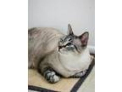 Adopt Toby a Domestic Shorthair / Mixed (short coat) cat in St.