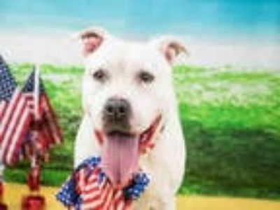 Adopt ABBY CADABBY a White American Staffordshire Terrier / Mixed dog in Fort