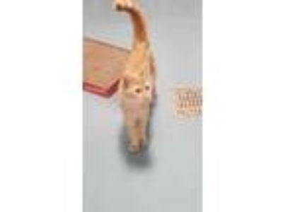 Adopt Goldie a Orange or Red Domestic Shorthair / Domestic Shorthair / Mixed cat