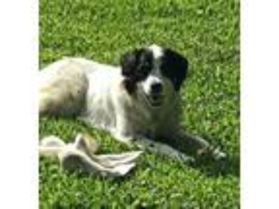 Adopt Layla-Avail June 21-CT a Great Pyrenees, Border Collie
