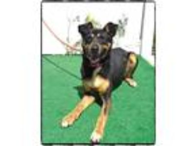 Adopt CRYSTAL a Black - with Tan, Yellow or Fawn German Shepherd Dog / Mixed dog