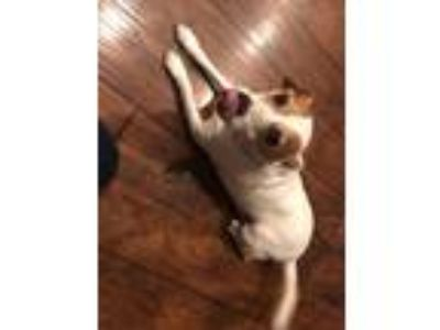 Adopt Jack a White - with Brown or Chocolate Jack Russell Terrier dog in