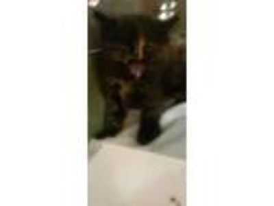 Adopt Gremlin a Brown or Chocolate Domestic Mediumhair / Domestic Shorthair /