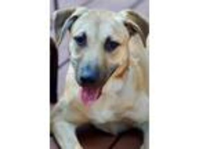 Adopt Tracy RBT a Tan/Yellow/Fawn - with Black German Shepherd Dog / Black Mouth