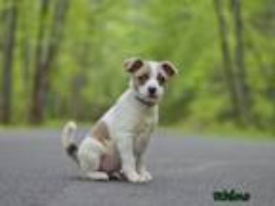 Adopt Rhino a Jack Russell Terrier