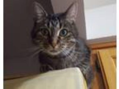 Adopt Mac a Brown Tabby Domestic Shorthair (short coat) cat in Rochester Hills
