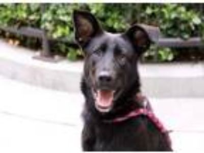 Adopt Maggie a Black Shepherd (Unknown Type) / Mixed dog in Chicago