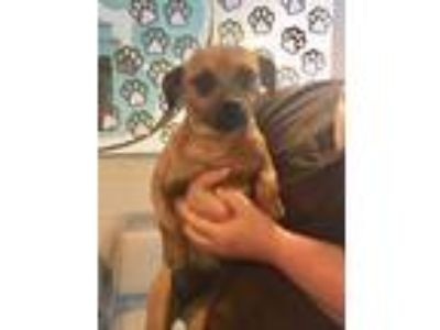 Adopt Naomi a Brown/Chocolate Terrier (Unknown Type, Small) / Mixed dog in