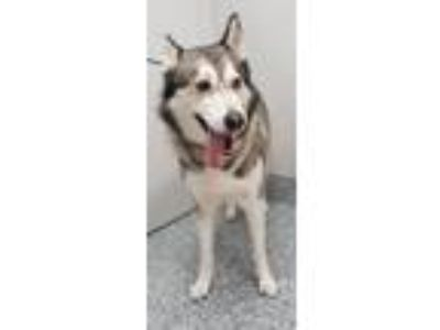 Adopt Angel a Husky / Mixed dog in Angola, IN (25359519)