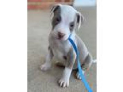 Adopt Danika a Gray/Silver/Salt & Pepper - with White American Pit Bull Terrier