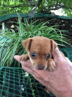 Toy terrier puppy