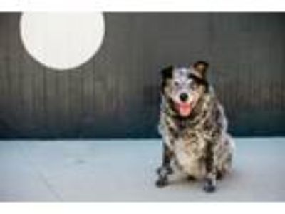 Adopt Bronco a Australian Cattle Dog / Blue Heeler