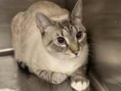Adopt KI KI a Domestic Short Hair