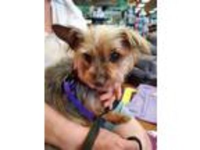 Adopt Dani Needs Donations for 2nd Surgery! a Yorkshire Terrier
