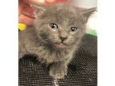 Adopt Coconut a Domestic Shorthair / Mixed cat in Richmond, VA (25548388)