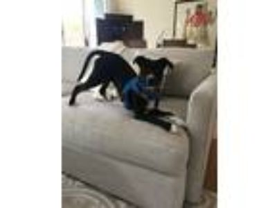 Adopt Nugget - courtesy post a Black - with White Labrador Retriever / Terrier