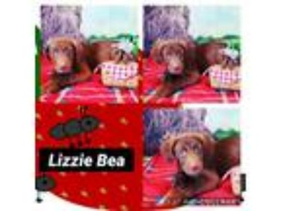 Adopt Lizzy Bea a Brown/Chocolate Labrador Retriever / Mixed dog in Ringwood