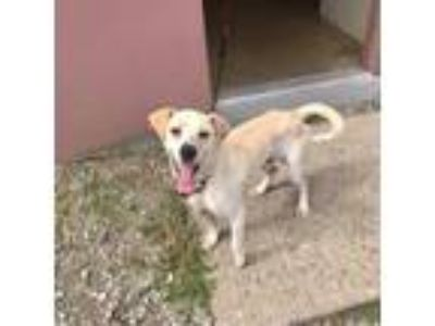 Adopt WANDER a Yellow Labrador Retriever, Beagle