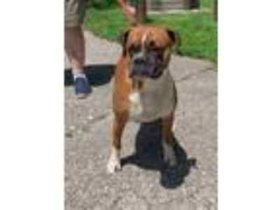 Adopt Misty a Tricolor (Tan/Brown & Black & White) Boxer / Mixed dog in Dumont