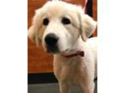 Adopt Anna a White Great Pyrenees / Mixed dog in Hartwell, GA (25319816)