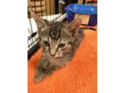 Adopt Rubyck a Brown Tabby Domestic Shorthair (short coat) cat in Wilmington