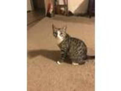 Adopt Mama Cat a Tiger Striped Domestic Shorthair cat in Houston, TX (24868514)