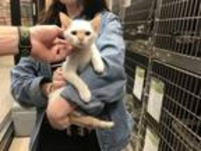 Adopt Shawn a Cream or Ivory Siamese / Mixed (short coat) cat in DFW Metroplex