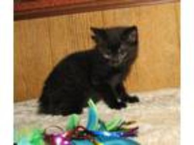 Adopt Cleta (baby girl) a All Black Domestic Shorthair / Mixed (short coat) cat