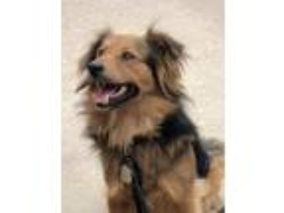 Adopt Brownie a Collie, German Shepherd Dog