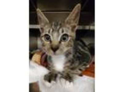 Adopt Frank a Domestic Medium Hair, Domestic Short Hair