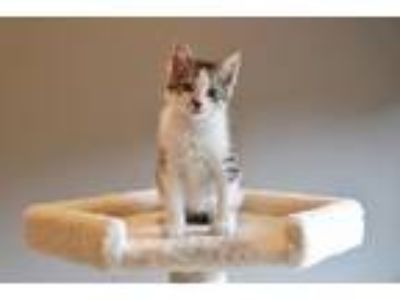 Adopt Sebastian a Tan or Fawn Tabby Domestic Shorthair (short coat) cat in