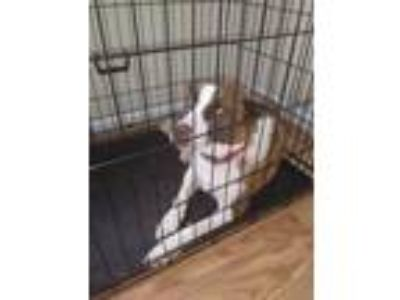 Adopt Belle a White - with Tan, Yellow or Fawn Border Collie / Basenji / Mixed
