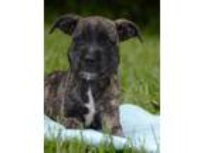 Adopt Quinn a Wirehaired Terrier