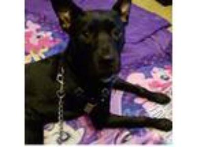 Adopt Max a Black Retriever (Unknown Type) / Labrador Retriever dog in