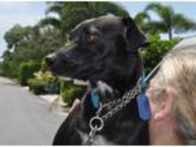 Adopt Trixie a Black - with White Labrador Retriever / Mixed dog in West Palm