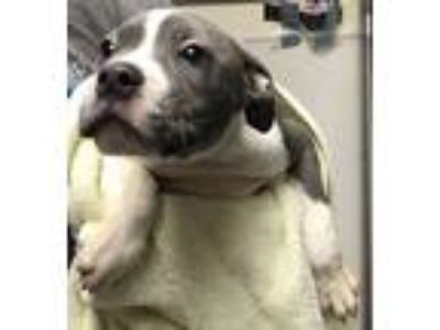 Adopt Daisy a Pit Bull Terrier / Mixed dog in Silverdale, WA (25372675)
